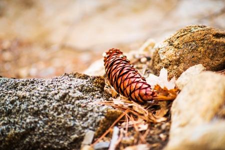 bernardino: Fallen Cone Closeup Photo. California San Bernardino Forest Cone. Stock Photo