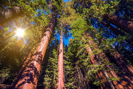 sequoia: Giant Sequoias Forest. Sequoia National Forest in California Sierra Nevada Mountains, United States.