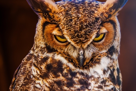 virginianus: Great Horned Owl Also Known as the Tiger Owl Closeup Photo. (Bubo Virginianus) Stock Photo