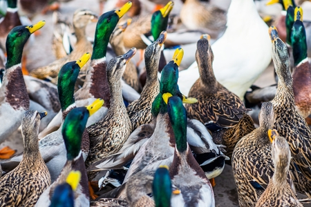 dabbling: Large Group of the Colorful Ducks Closeup Photo.