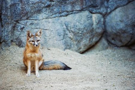zorro: Kit Fox. Fox especies de Am�rica del Norte. (Vulpes Macrotis)