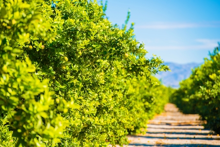 farm field: Lemon Trees Plantation. Lemon Trees Farm Field in California, United States. Stock Photo