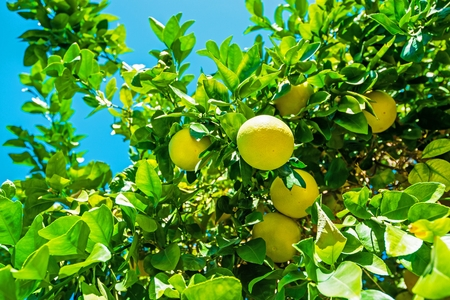 lemon tree: Lemon Tree Branch with Fruits Closeup Photo. Stock Photo