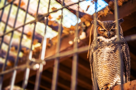 animal cruelty: Poor Owl in Captivity. Great Horned Owl in Captivity. Bird in the Cage.