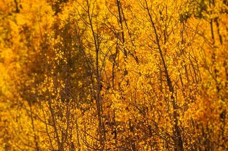 Yellow Aspen Trees . Colorado October Foliage. Stock fotó