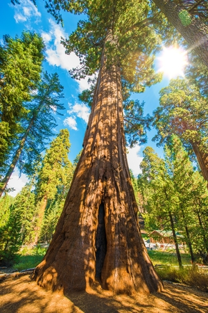 tallest: Sunny Day Between Sequoias. Sequoia National Park in California, USA. Stock Photo