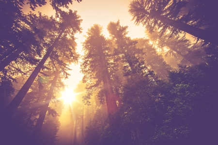 firs: Misty Forest Trail. Magic Redwood Forest Scenery in Warm Vintage Color Grading.