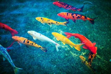Colorful Koi Fishes in the Pond Closeup. Pond Fishes.