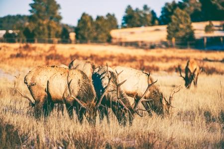 gang: Elks Pandillas en el prado en Colorado, Estados Unidos. Cuatro Elks Gang. Foto de archivo