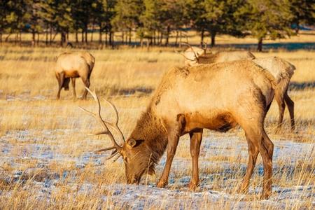 gang: Elks Gang on the Colorado High Rockies Meadow. Colorado, United States.