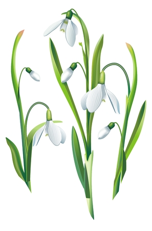 Blossom Snowdrop Flowers Illustration Isolated on White