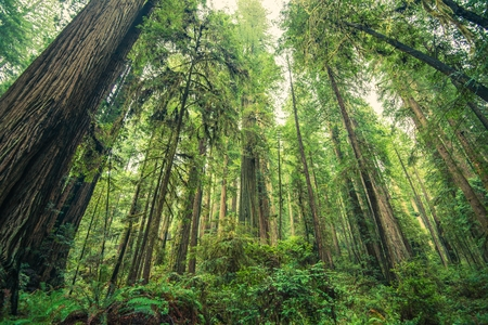 Giant Redwoods Forest, Northern California, United States. Forest Scenery.