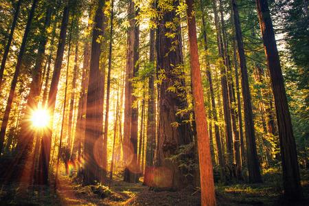 林道日没。風景日没レッドウッド森林歩道。夏にカリフォルニア州レッドウッド、アメリカ合衆国。