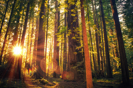 Forest Trail Sunset. Scenic Sunset Redwood Forest Trail. Summer in the California Redwood, United States.
