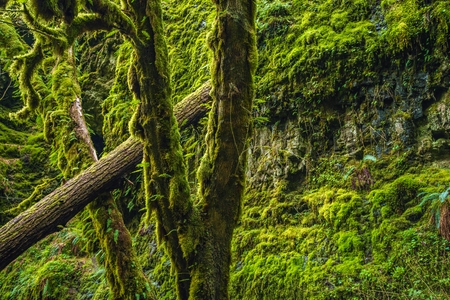 Mossy Oregon Forest. Columbia River Gorge Area. Mossy Nature. Stock fotó - 39557470