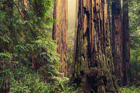 redwood: Thousands of Years Old Redwood Trees in California Redwood Forest.