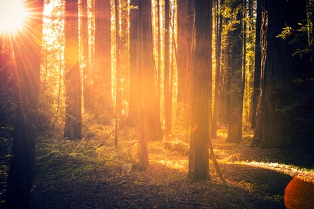Redwood Forest Scenery. Summer Sunset in the Forest. California, USA.