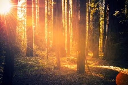 Paisaje Redwood Bosque. Puesta de sol de verano en el bosque. California, EE.UU..