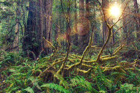 Redwood Scenic Rainforest of American Northwest. Mossy Forest Landscape. North California, United States