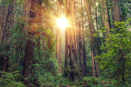 forest jungle: Sunny Redwood Forest in Northern California, United States. Forestry Theme. Stock Photo