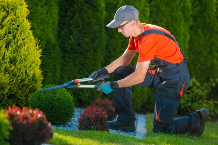 Professional Gardener at Work. Gardener Trimming Garden Plants. Topiary Art. Standard-Bild