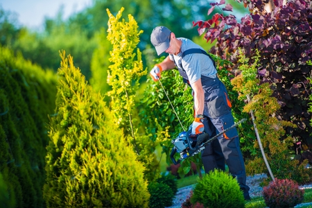 trims: Firing Up Gasoline Hedge Trimmer by Professional Gardener. Garden Works. Trimming Hedge. Stock Photo