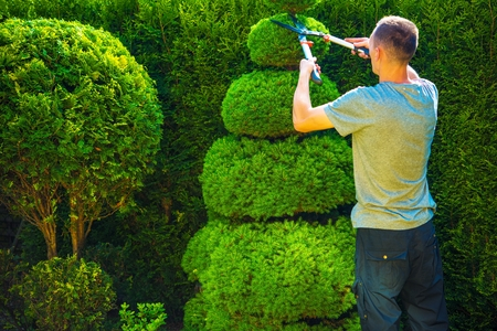 topiary: Topiary Trimming Plants. Male Gardener with Large Hedge Trimmer at Work.