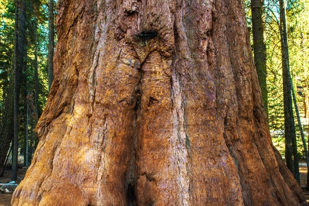 tallest: Giant Sequoia Bark Closeup. California Sequoia National Park. Stock Photo