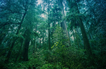 American Northwest Rainforest Foggy Landscape in Northern California Coastal Redwood Forest. Stock Photo