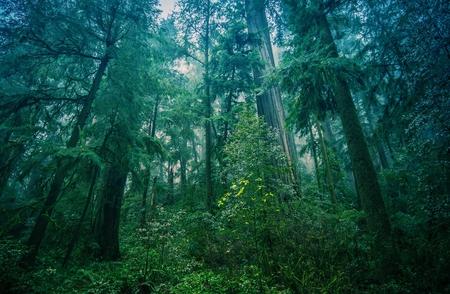 Nord-Ouest américain Rainforest Foggy Paysage dans le nord de la Californie Coastal Redwood Forest. Banque d'images - 42085330
