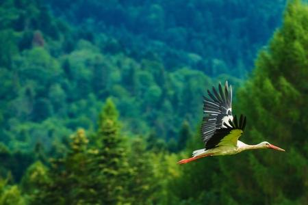 ciconiiformes: European White Stork in Flight. Poland, Europe. Stock Photo