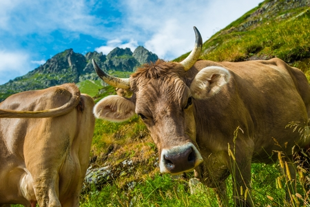 pasture: Swiss Alpine Cows on the Mountain Meadow.