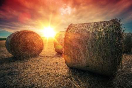 landscape: Baled Hay Rolls at Sunset. Hay Bales Countryside Landscape.