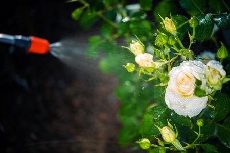 Flowers Pest Control Spraying. Spraying White Roses.