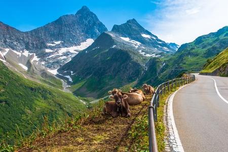 Swiss Alpine Milk Cows on the Side of Winding Mountain Road. Switzerland, Europe. Stock Photo