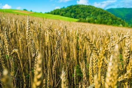 Organic Rye Fields in Bieszczady, Poland, Europe. Agriculture Theme. Rye Ears