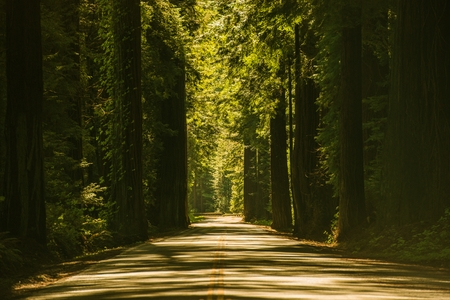 redwood: Giant Redwood Trees Road. Redwood Highway in California, United States.