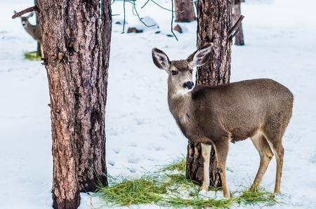 mule: Young Mule Deer in Winter Time. Feeding Mule Deer. Stock Photo