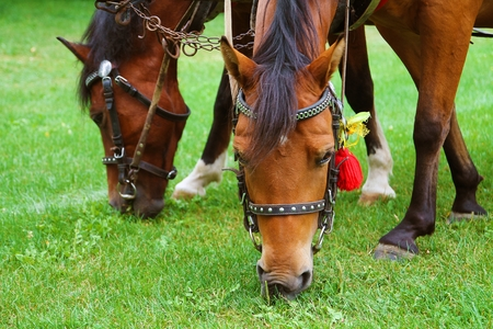 horse pull: Grazing Horses Closeup Photo. Two Brown Horses.