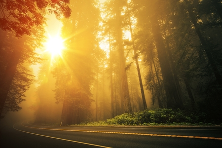 redwood: Redwood Foggy Sunset Scenery. Coastal Redwood Forest in the California State, USA. Redwood Highway