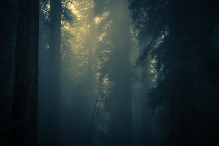 fog forest: Spooky Dense Forest Fog. Coastal Redwood Forest Covered by Fog. Northern California, United States. Stock Photo