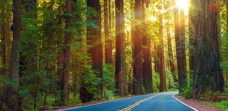 redwood: World Famous Redwood Highway in Northern California, United States. Sun Between Redwood Trees.
