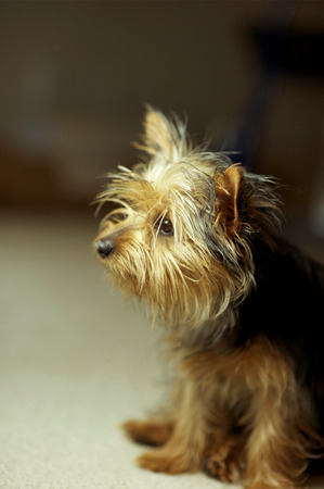 silky terrier: Puppy Silky Terrier Dog Portrait. Seating Puppy Dog. Stock Photo