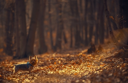 silky terrier: The Dog Walk in the Forest with Large Copy Space Background.
