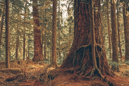 symbiosis: Mystery Forest Symbiosis. American Northwest Rainforest Two Trees Symbiosis.