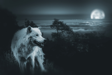 scary forest: White Alpha Wolf During Full Moon Night Looking For a Prey in the Wilderness. Stock Photo