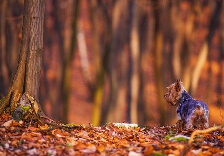 silky terrier: Dog Forest Walk. Middle Age Silky Terrier Fun in the Forest. Stock Photo