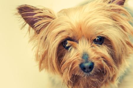 Australian Silky Terrier Dog Closeup Portrait. Middle Age Silky Terrier.