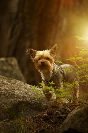 Puppy Australian Silky Terrier Portrait in the Forest. Vertical Photo.