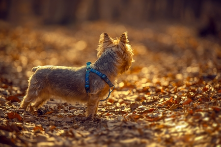 silky terrier: Australian Silky Terrier Late Fall Forest Walk.